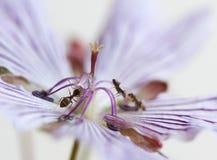 ακραία μακροεντολή λουλουδιών μυρμηγκιών Στοκ Φωτογραφίες