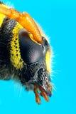 Ακραία μακροεντολή arcuatus Plagionotus κανθάρων στο μπλε Στοκ Εικόνες