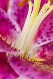Ακραία μακροεντολή του κρίνου Στοκ φωτογραφία με δικαίωμα ελεύθερης χρήσης