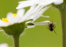 Ακραία μακρο μαργαρίτα με την πολύ μικρή αράχνη κάτω από το πέταλο Στοκ φωτογραφίες με δικαίωμα ελεύθερης χρήσης