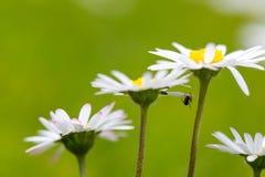 Ακραία μακρο μαργαρίτα με την πολύ μικρή αράχνη κάτω από το πέταλο Στοκ Εικόνα