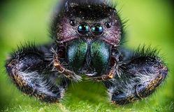 Ακραία μακρο φωτογραφία μιας αράχνης άλματος Στοκ Εικόνες