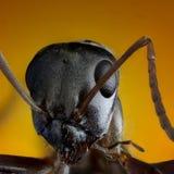 Ακραία μακρο φωτογραφία μυρμηγκιών Στοκ φωτογραφία με δικαίωμα ελεύθερης χρήσης