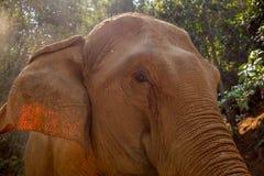 Ακραίος στενός ένας επάνω του κεφαλιού ενός ασιατικού ενήλικου ελέφαντα στοκ εικόνες με δικαίωμα ελεύθερης χρήσης