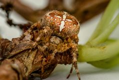 Ακραίος στενός επάνω μιας αράχνης κήπων ή της διαγώνιας αράχνης σχεδόν στην πλήρη εστίαση κυμαίνεται στοκ φωτογραφίες με δικαίωμα ελεύθερης χρήσης