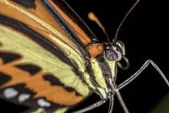 Ακραίος στενός επάνω στενός επάνω πεταλούδων Στοκ Εικόνα