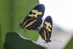Ακραίος στενός επάνω πεταλούδων Copulating Στοκ φωτογραφία με δικαίωμα ελεύθερης χρήσης