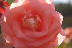 Ακραίος στενός επάνω του ρόδινου λουλουδιού στη σκιά στοκ φωτογραφίες