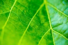 Ακραίο μακρο υπόβαθρο πρασινάδων φύλλων σφενδάμου Στοκ Φωτογραφίες