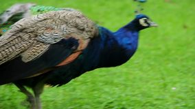 Ακραίο μπλε ινδικό peacock κινηματογραφήσεων σε πρώτο πλάνο, ζωηρόχρωμο πουλί περπατήματος απόθεμα βίντεο