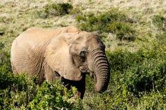 Ακριβώς με φάτε - αφρικανικός ελέφαντας του Μπους Στοκ φωτογραφία με δικαίωμα ελεύθερης χρήσης