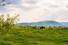 Ακριβώς μια αγελάδα που εξετάζει σας Στοκ φωτογραφία με δικαίωμα ελεύθερης χρήσης