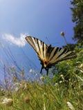 Ακριβώς μια μικρή πεταλούδα στα λουλούδια στοκ εικόνες
