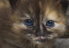 Ακριβώς νέος - γεννημένο γατάκι Στοκ Εικόνες