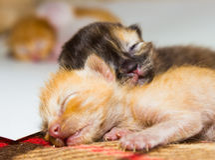 Ακριβώς νέος - γεννημένο γατάκι Στοκ Φωτογραφία