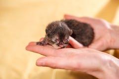 Ακριβώς νέος - γεννημένο μαύρο και κόκκινο γατάκι στα θηλυκά χέρια Στοκ φωτογραφία με δικαίωμα ελεύθερης χρήσης