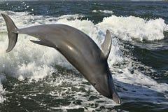 Ακροβατικό δελφίνι Στοκ Φωτογραφίες