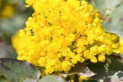 Ακροποταμιά Mahonia lat Το aquifolium Mahonia είναι ένας αειθαλής θάμνος της Barberry οικογένειας Berberidaceae Στοκ Εικόνα