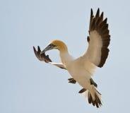 ακρωτήριο gannet Στοκ φωτογραφίες με δικαίωμα ελεύθερης χρήσης