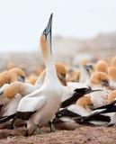 ακρωτήριο gannet Στοκ εικόνες με δικαίωμα ελεύθερης χρήσης