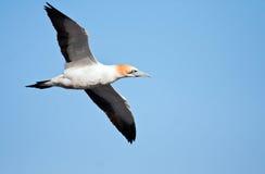 ακρωτήριο gannet Στοκ Εικόνες