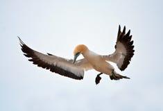 ακρωτήριο gannet Στοκ Εικόνα