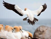 ακρωτήριο gannet Στοκ Φωτογραφία
