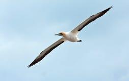 ακρωτήριο gannet Στοκ φωτογραφία με δικαίωμα ελεύθερης χρήσης