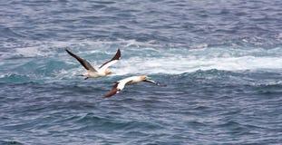 ακρωτήριο gannets Στοκ φωτογραφία με δικαίωμα ελεύθερης χρήσης