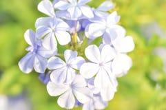 Ακρωτήριο leadwort ή άσπρο auriculata Plumbago plumbag Στοκ φωτογραφίες με δικαίωμα ελεύθερης χρήσης