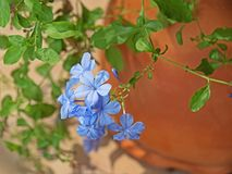 Ακρωτήριο Leadwort ή Plumbago Auriculata στη φύση Backgrou Στοκ εικόνες με δικαίωμα ελεύθερης χρήσης