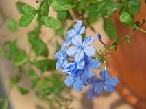Ακρωτήριο Leadwort ή Plumbago Auriculata στη φύση Backgrou Στοκ φωτογραφία με δικαίωμα ελεύθερης χρήσης