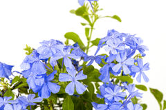 Ακρωτήριο leadwort, Leadwort (Auriculata Lam Plumbago ) Στοκ εικόνα με δικαίωμα ελεύθερης χρήσης