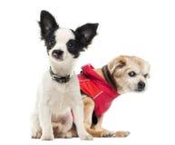 Ακρωτηριασμένα σκυλιά, που απομονώνονται Στοκ φωτογραφίες με δικαίωμα ελεύθερης χρήσης
