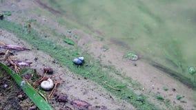 Ακτή άμμου της δασικής λίμνης Φυκώδης άνθιση Άλγη στην άμμο Κοχύλια σαλιγκαριών Κανένα πρόσωπο φιλμ μικρού μήκους