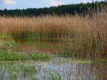 Ακτή θερινών λιμνών στους καλάμους Στοκ Εικόνες