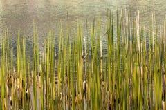 Ακτή με bulrush σε μια λίμνη Στοκ εικόνα με δικαίωμα ελεύθερης χρήσης