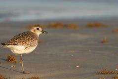 Ακτή Birding Κόλπων του Τέξας Στοκ Εικόνες