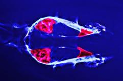 Ακτίνα X για το επικεφαλής σκυλί στοκ φωτογραφία με δικαίωμα ελεύθερης χρήσης