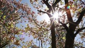 Ακτίνα ηλιοφάνειας που ταξιδεύει πέρα από το ρόδινο δέντρο magnolia κορωνών απόθεμα βίντεο