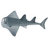 Ακτίνα καρχαριών Στοκ Εικόνες