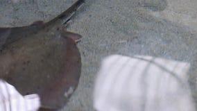 Ακτίνα του Στινγκ που γλιστρά πέρα από την άμμο φιλμ μικρού μήκους