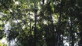 Ακτίνα των δέντρων μπαμπού φιλμ μικρού μήκους