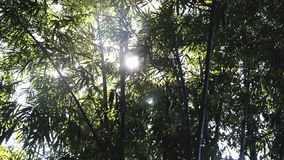 Ακτίνα των δέντρων μπαμπού απόθεμα βίντεο