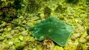 Ακτίνα Manta που κολυμπά στις πέτρες στοκ φωτογραφίες
