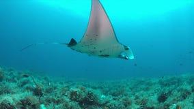 Ακτίνα Manta σε μια κοραλλιογενή ύφαλο 4k απόθεμα βίντεο