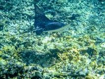 Ακτίνα Manta στους υποβρύχιους κοντινούς Anse κοκοφοίνικες των Σεϋχελλών Στοκ Εικόνα