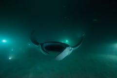 Ακτίνα Manta στο σκοτάδι Στοκ φωτογραφία με δικαίωμα ελεύθερης χρήσης