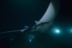 Ακτίνα Manta στο σκοτάδι Στοκ εικόνες με δικαίωμα ελεύθερης χρήσης
