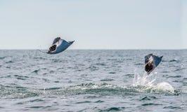 Ακτίνα Mobula που πηδά από το νερό στοκ εικόνα με δικαίωμα ελεύθερης χρήσης